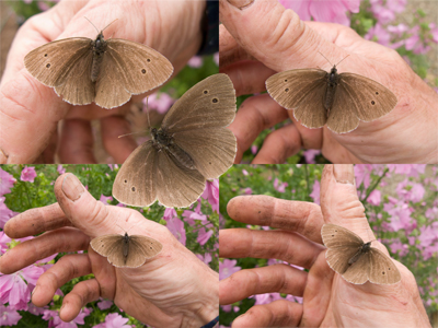 ringlet and mallow